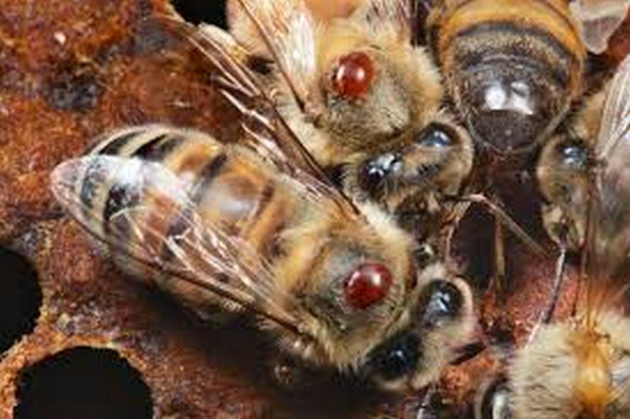 Najveći štetočina na pčelinjacima - Važnost proljetnog pregleda pčelinjih  zajednica - Institut za zdravlje i sigurnost hrane (INZ)