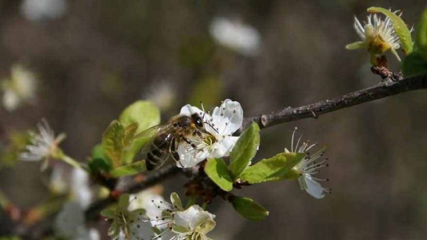 Vrijeme Je Za Pojačan Oprez – Pčele Oprašivanjem Donose Bolji Urod Voću, Ali Ih Mala Nepažnja Može Ubiti
